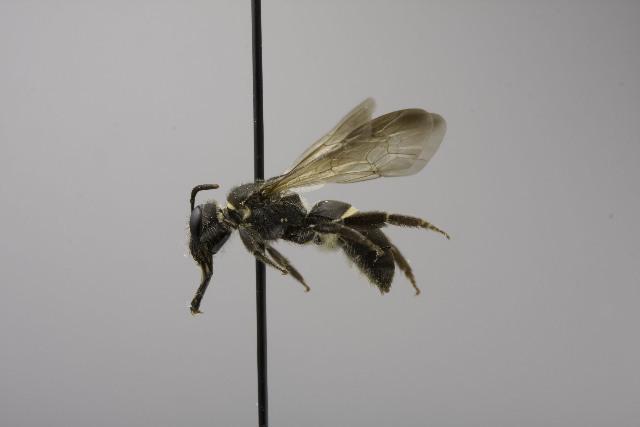 Image of <i>Lasioglossum pharum</i> (Vachal 1904)