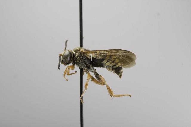 Image of <i>Triepeolus intrepidus</i> (Smith 1879)