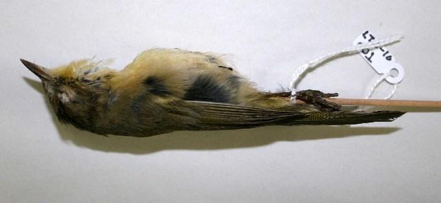 Image of Yellowthroat