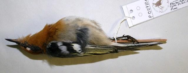 Image of olive warblers