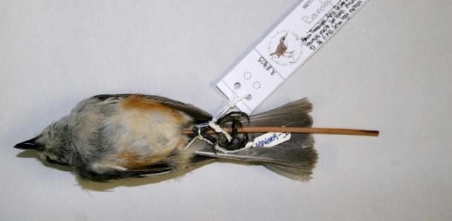 Image of Baeolophus Cabanis 1850