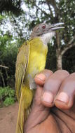 Image of Red-tailed Greenbul