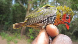 Image of Estrildid finches