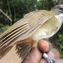 Image of Simple Greenbul