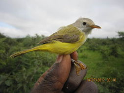 Image of African warblers