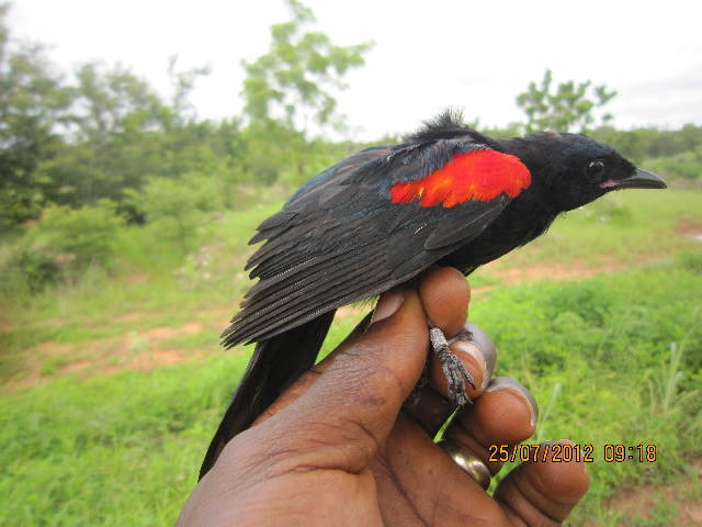 Image of cuckoo-shrikes