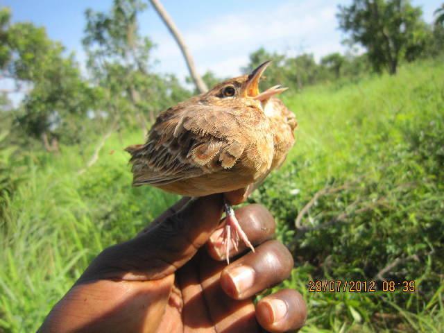 Image of larks