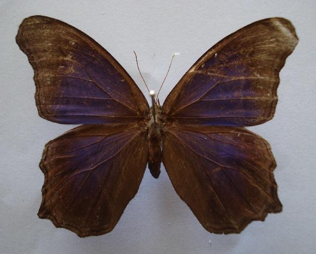 Image of Coelites