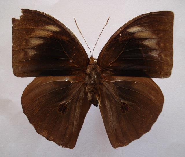 Image of Discophora
