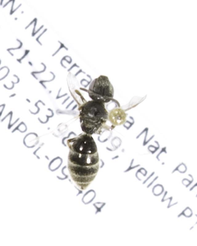 Image of <i>Lasioglossum seillean</i>