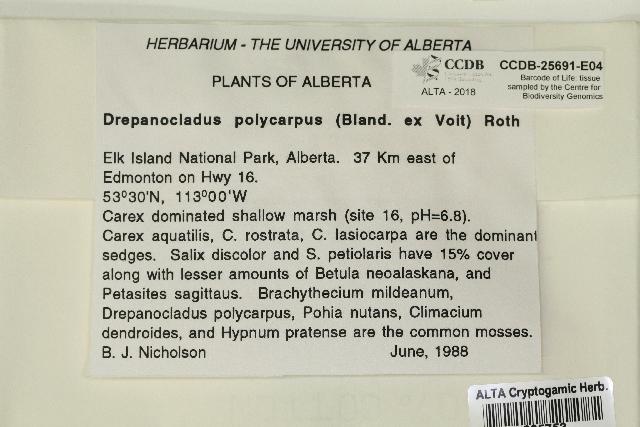 Image of drepanocladus moss
