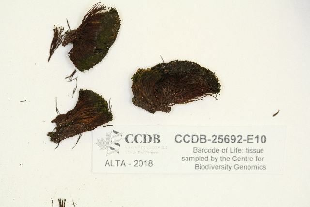 Image of didymodon moss