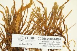 Image of racomitrium moss