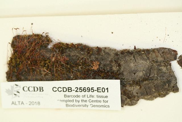 Image of tortula moss