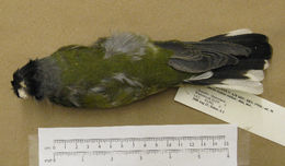 Image of Green figbird