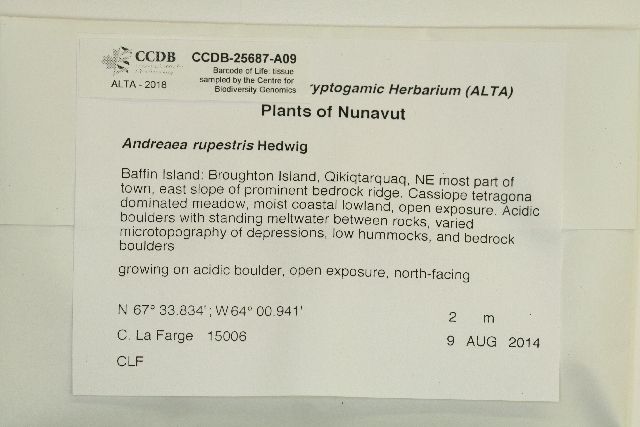 Image of Lantern moss