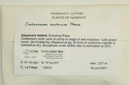 Image of cratoneuron moss