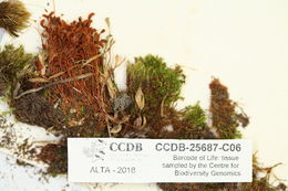 Image of funaria moss