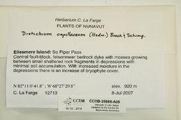 Image of distichium moss