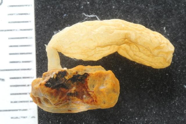 Image of Alcyonidium