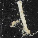 Image of Cellariidae