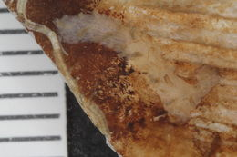 Image of Plagioeciidae