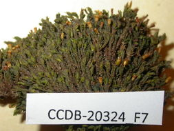Image of orthotrichum moss
