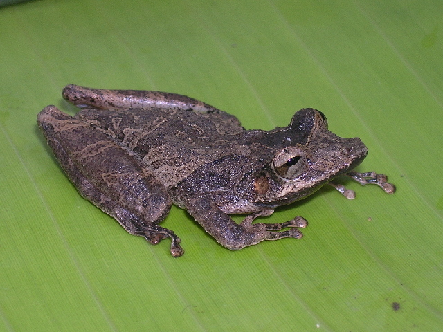 Image of Snouted Treefrogs