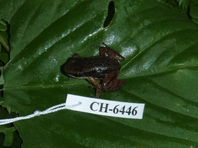 539.bsamp ch6446 colostethus spnov dorsal 1248791956 jpg