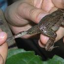 539.bsape ajc2015 lep leptodactyloides panguana pe posthighs 1249575792 jpg.130x130