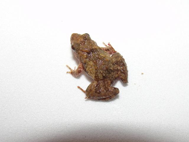 Image of <i>Pseudopaludicola llanera</i> Lynch 1989