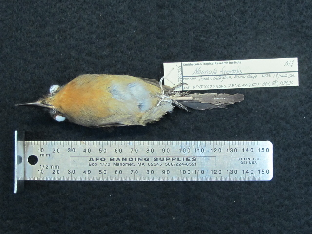 Image of Gray-cheeked Nunlet