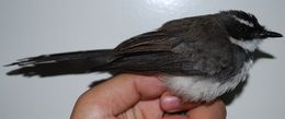 Image of Pied Fantail