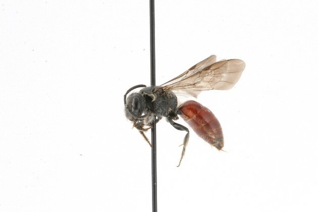 Image of <i>Sphecodes dichrous</i> Smith 1853