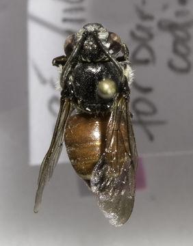 Image of Ammobatoides