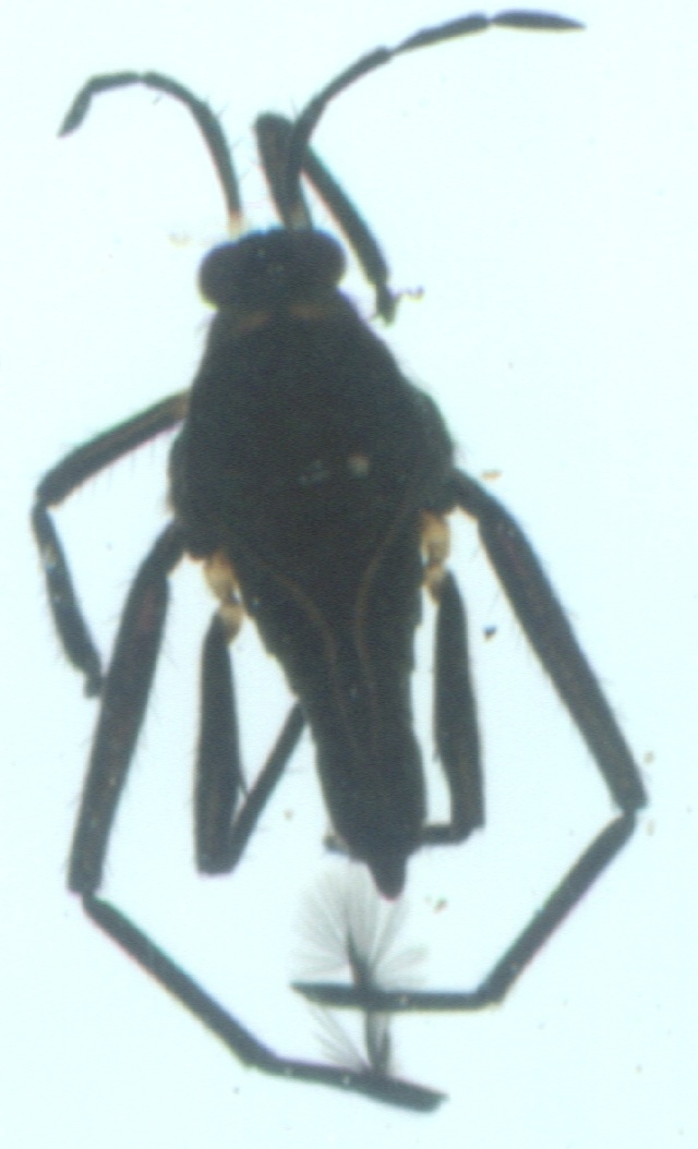 Image of Rhagovelia