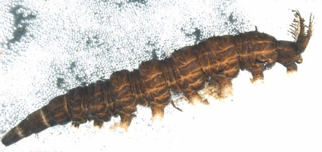 Image of watersnipe flies