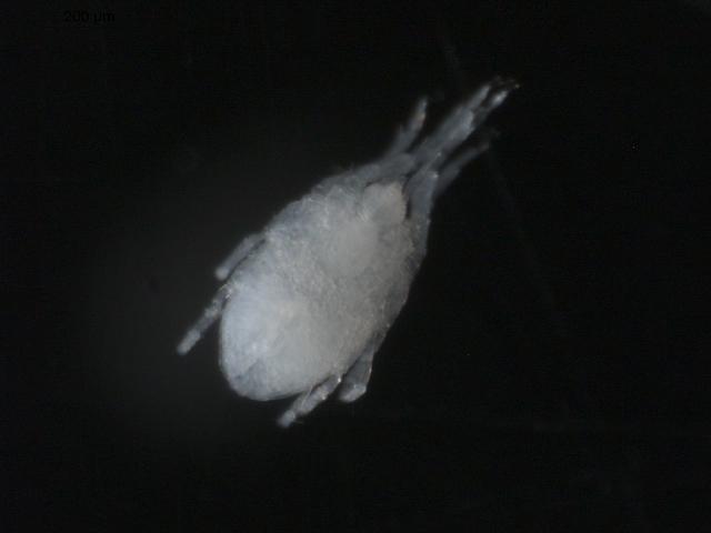 Image of Halacaridae
