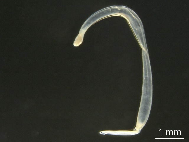 Image of arrow worm