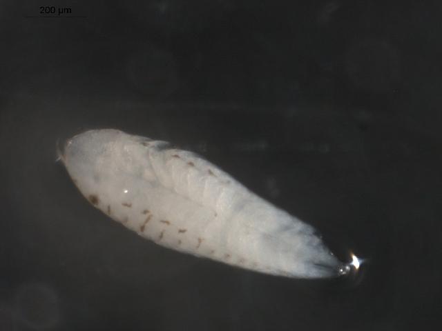 Image of <i>Argeia pugettensis</i> Dana 1853