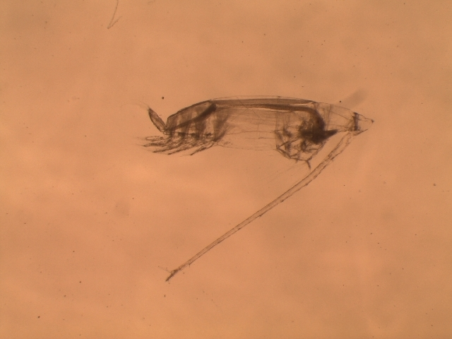 Image of Eucalanus