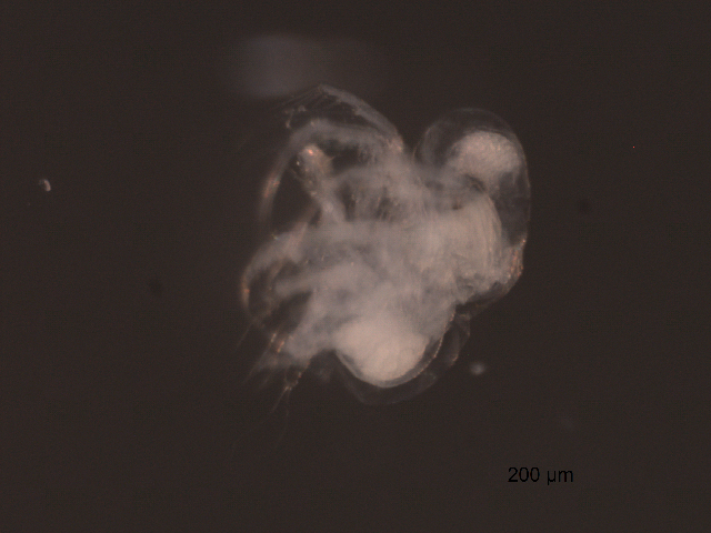Image of <i>Pleopis polyphemoides</i>