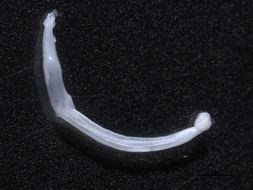 Image of arrow worm
