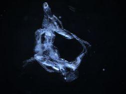Image of Holopedium Zaddach 1855