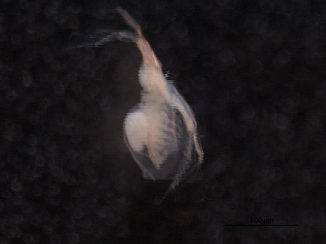 Image of <i>Diaphanosoma</i>