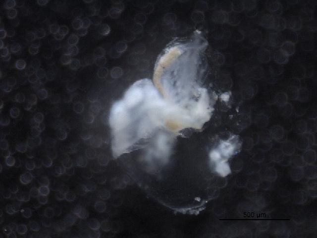 Image of <i>Holopedium</i>