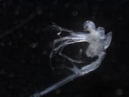 Image of Fishhook waterflea