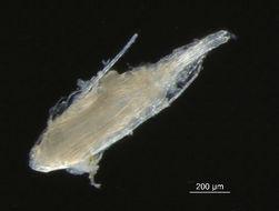 Image of Pseudocalanus