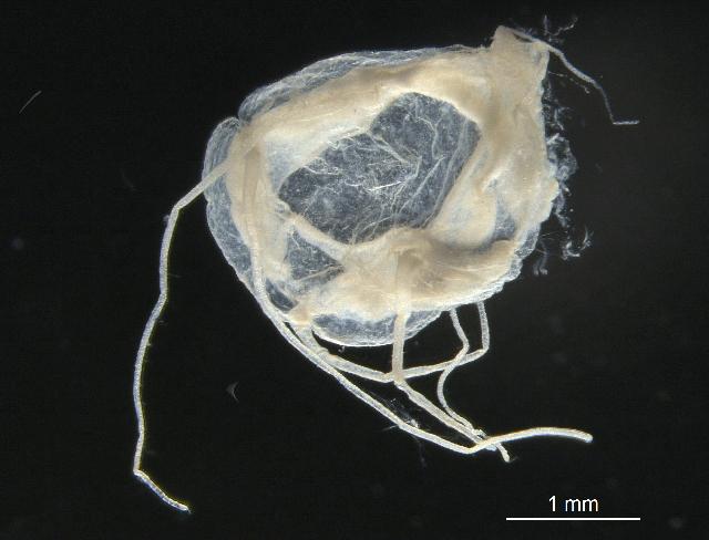 Image of <i>Aeginopsis laurentii</i> Brandt 1838