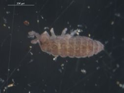 Image of Ceratophysella